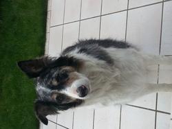 Alfy, chien Berger australien