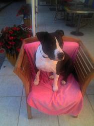 Ali, chien American Staffordshire Terrier