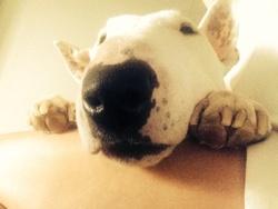Ali, chien Bull Terrier
