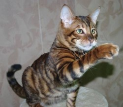 Ali Baba, chat Toyger