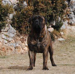 Ali Del Gorg Negre , chien Bullmastiff