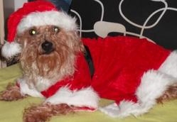 Alia, chien Yorkshire Terrier