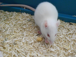 Alibi, rongeur Rat