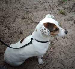 Alice, chien Jack Russell Terrier