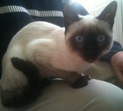 Alice, chat Siamois