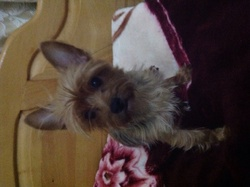 Alice , chien Yorkshire Terrier