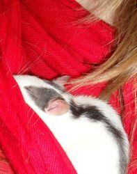 Alice, rongeur Rat