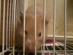 Alice, rongeur Hamster