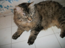 Alie, chat Maine Coon
