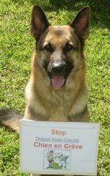Alika, chien Berger allemand
