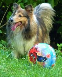 Alika De Montchat, chien Berger des Shetland