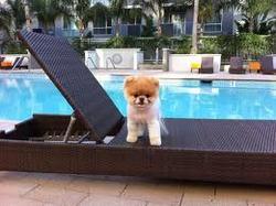 Aling, chien Affenpinscher