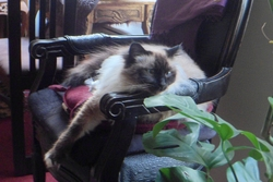 Aliocha, chat Birman