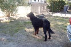 Alisco Des Rieux En Valdaine, chien Setter Gordon