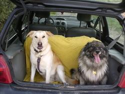 Alizee, chien Labrador Retriever