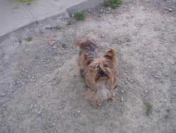 Alizée, chien Yorkshire Terrier