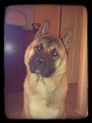 Alka, chien Akita américain