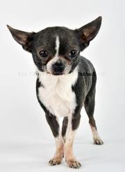 Alladin, chien Chihuahua