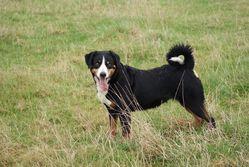 Allegra, chien Bouvier d'Appenzell
