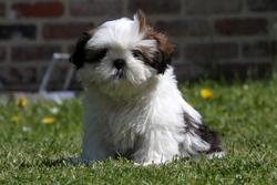 Ally, chien Shih Tzu