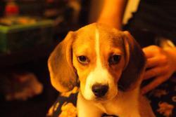 Alya, chien Beagle