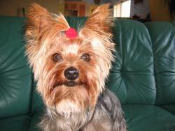 Allyssia, chien Yorkshire Terrier