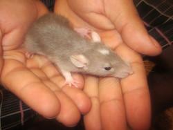 Alma, rongeur Rat