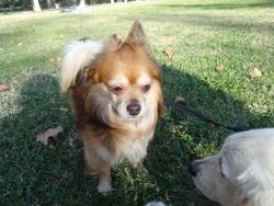 Aloa, chien Chihuahua