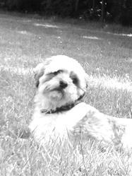 Aalonn , chien Shih Tzu