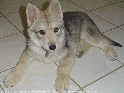 Aloup, chien Chien-loup tchèque