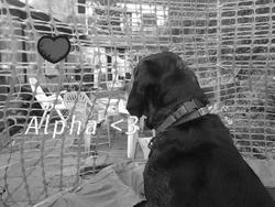Alpha, chien