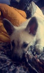 Alpha, chien Husky sibérien