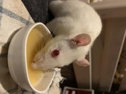 Alpha, rongeur Rat