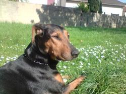 Alpine, chien Beauceron