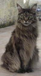 Altai, chat Maine Coon