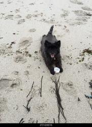 Altair, chien Cairn Terrier
