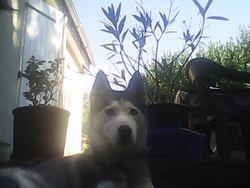 Altaya, chien