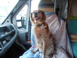 Altess, chien Épagneul breton