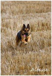 Altesse, chien Berger allemand