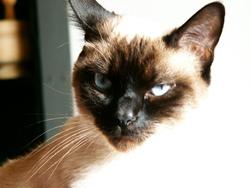 Altesse, chat