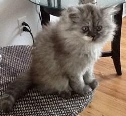 Altesse, chat Persan
