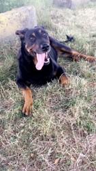 Altesse, chien Beauceron