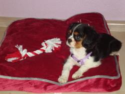 Althéa, chien Cavalier King Charles Spaniel