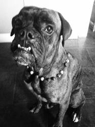Alto, chien Boxer