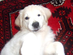 Alto, chien Golden Retriever