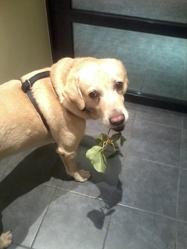 Alto, chien Labrador Retriever