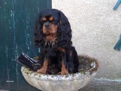 Alto, chien Cavalier King Charles Spaniel
