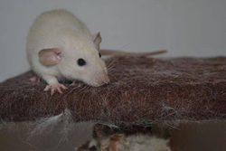 Alto, rongeur Rat