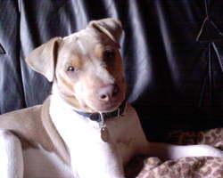 Alto, chien Terrier brésilien