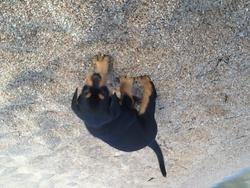 Altore, chien Rottweiler